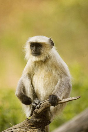 Common Langur Presbytis entellus,Ranthambore National Park,Rajasthan,India