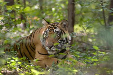Tiger Panthera tigris hiding,Ranthambore tiger reserve,Rajasthan,India