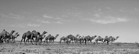ラクダ、カッチ、グジャラート、インドの群れ