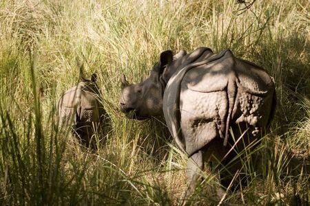 One horned Indian Rhinoceros with calf Rhinoceros unicornis in Dudhwa National Park,Uttar Pradesh,India