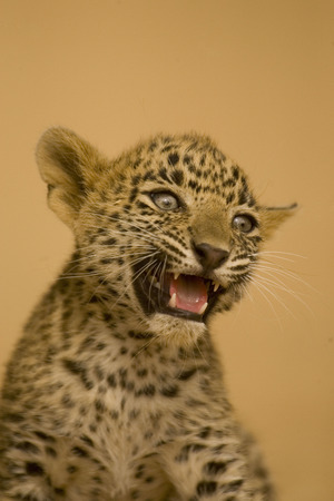 Big cat baby or young Leopard cub Panthera pardus snarling,Ranthambore National Park,Rajasthan,India