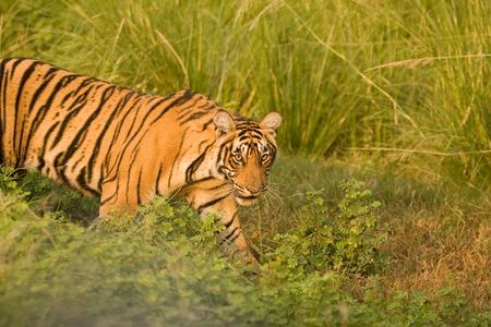 Tiger Panthera tigris,Ranthambore tiger reserve,Rajasthan,India LANG_EVOIMAGES