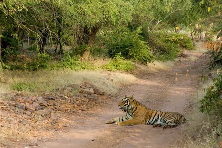 Tiger Panthera tigris resting,Ranthambore tiger reserve,Rajasthan,India LANG_EVOIMAGES