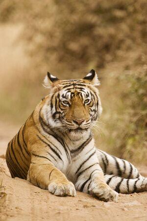 Tiger Panthera Tigris resting in Ranthambore National Park,Rajasthan,India