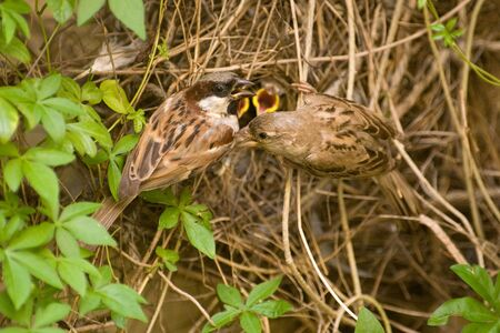 Bird,Common Sparrow in nest,Ranthambore tiger reserve,Rajasthan,India