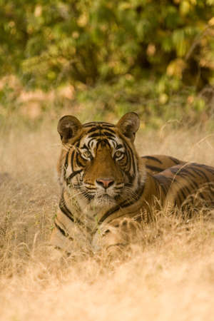 Tiger Panthera tigris resting,Ranthambore tiger reserve,Rajasthan,India Stock Photo