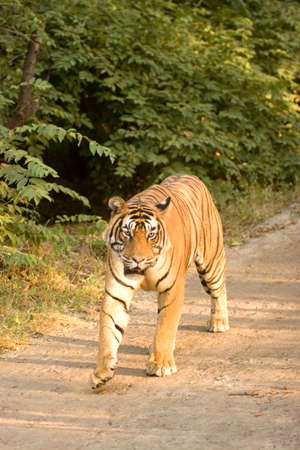 Tiger Panthera tigris,Ranthambore tiger reserve,Rajasthan,India Stock Photo