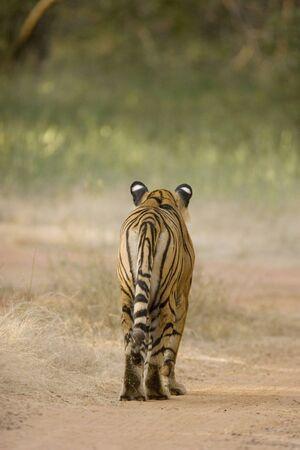 Backview of Tiger Panthera Tigris walking in Ranthambore National Park,Rajasthan,India LANG_EVOIMAGES
