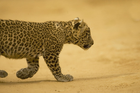 Big cat baby or young Leopard cub Panthera pardus,Ranthambore National Park,Rajasthan,India LANG_EVOIMAGES