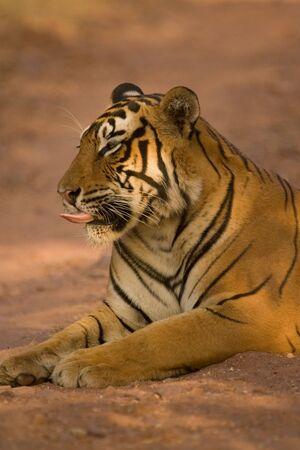 Tiger Panthera tigris lapping,Ranthambore tiger reserve,Rajasthan,India Stock Photo