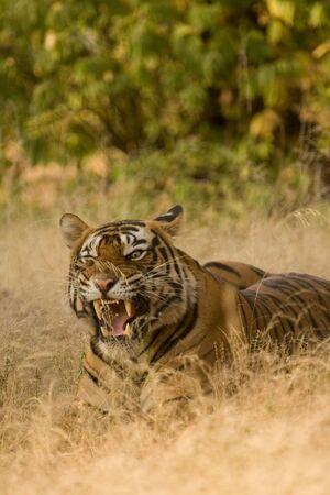 Tiger Panthera tigris snarling,Ranthambore tiger reserve,Rajasthan,India