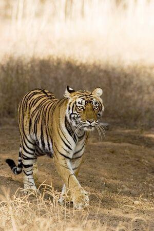 Tiger Panthera Tigris in Ranthambore National Park,Rajasthan,India