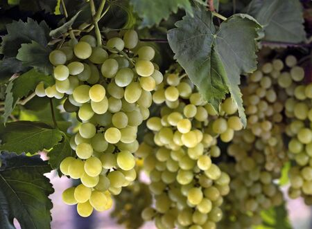 Grapes or draksh eat as dry fruits and fresh fruits have medicinal value in Ayurveda,India