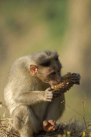 Monkey eating food at Mahabaleshwar,Maharashtra,India