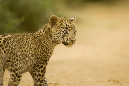 Big cat baby or young Leopard cub Panthera pardus,Ranthambore National Park,Rajasthan,India Stock Photo