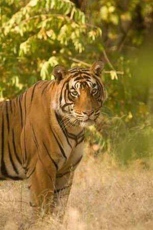 Tiger Panthera tigris,Ranthambore tiger reserve,Rajasthan,India Stock Photo