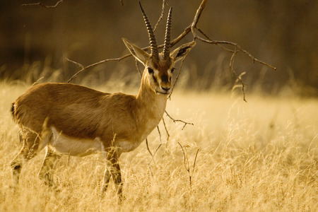 Chinkara Gazella gazella,Ranthambore National Park,Rajasthan,India