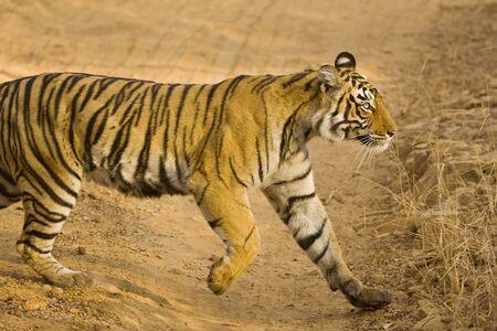 Tiger Panthera Tigris searching prey in Ranthambore National Park,Rajasthan,India
