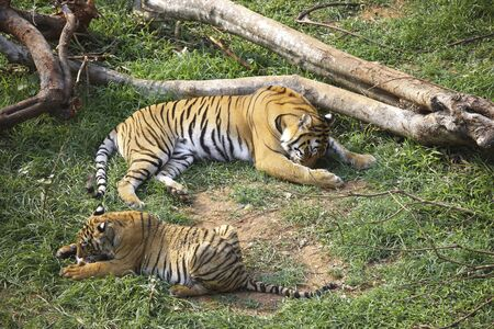 Bengal Tigress Panthera tigris with cub eating in Guwahati zoo,Assam,India