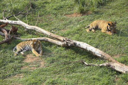 Bengal Tigers Panthera tigris in Guwahati zoo,Assam,India