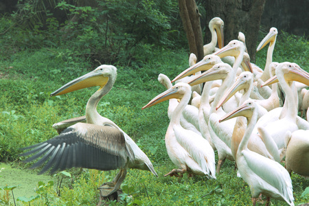Water birds,flock of white Pelicans Pelecanidae Pelecanus onocrotalus near pond in Guwahati zoo,Assam,India Stock Photo