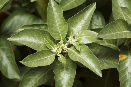 Geneeskrachtige plant Ashwagandha Withania somnifera Dunl Family Solanaceae