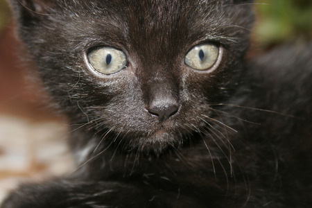 gray cat: Persian black kitten with fierce grey brown eyes LANG_EVOIMAGES