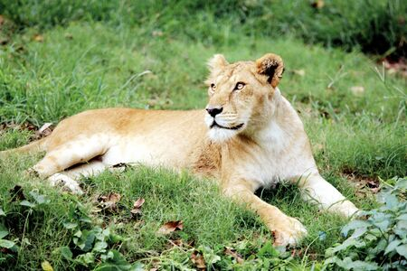 Lioness Panthera Leo staring in Guwahati zoo,Assam,India