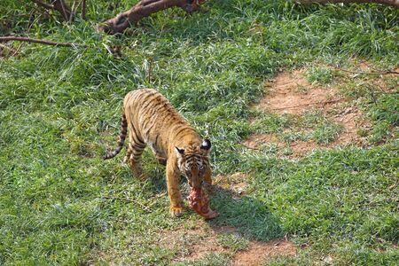 Bengal Tiger Panthera tigris with kill in his mouth in Guwahati zoo,Assam,India