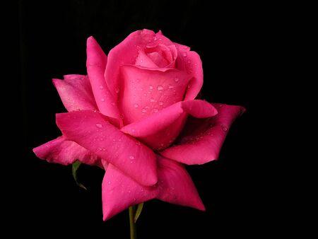 Water drops on red rose flower on black background Stok Fotoğraf - 85786791