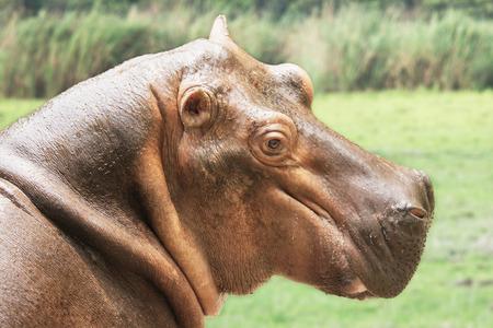 Pygmy Hippopotamus Hexaprotodon Liberiensis yawning in Guwahati zoo,Assam,India