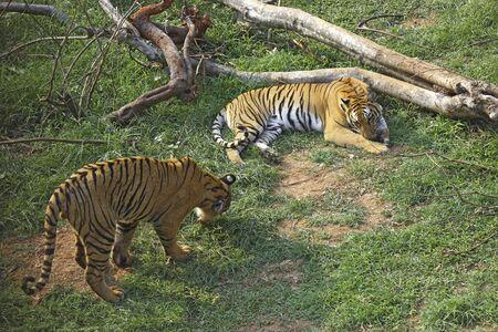 Bengal Tiger and Tigress Panthera tigris in Guwahati zoo,Assam,India LANG_EVOIMAGES