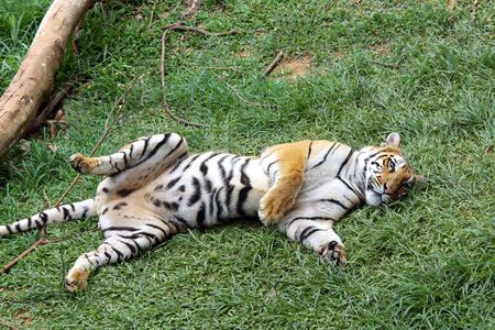 Bengal Tigress Panthera tigris in playful mood in Guwahati zoo,Assam,India