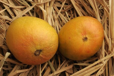 Fruits,pair of Alphonso mangoes king of fruits in dry hay