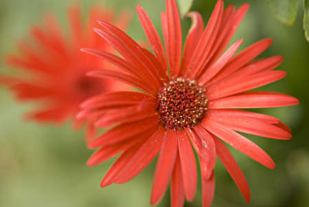 Red color Gerberas,Flower Point View Resort,Virar,Thane,India