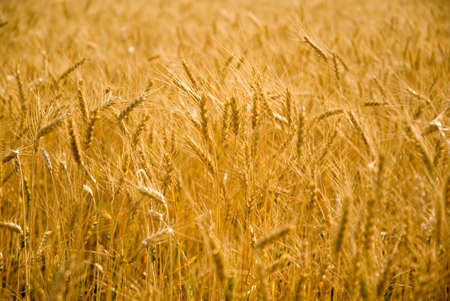 Close-up of ready golden wheat in farm,Nashik,Maharashtra,India