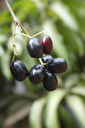 Fruit,Jambul Jamun or Jamblang Syzygium cumini on branch of tree