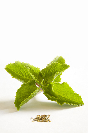 Indian species,Ajwain Ajowan Leaf and  seeds Herbaceous plant Carum ajowan on white background