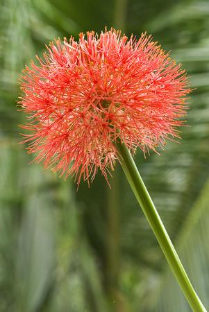 Fireball lily called football lily flower Haemanthus multiflorus Stock Photo