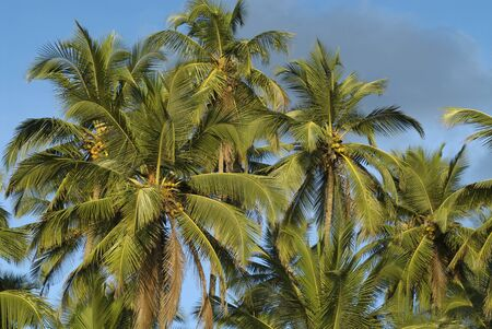 Coconut trees at Palolem beach,Goa,India