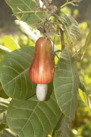 Ripe reddish cashew fruit with seed on tree cash crop,Village Jambhulwadi,Pen,Raigad District,Maharashtra,India