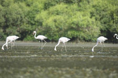 Birds,flamingo in Sewri creek feeding,Bombay Mumbai,Maharashtra,India
