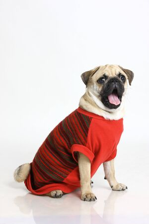 Dog Pug Male Black Muzzle shouting in red clothing posing on white background