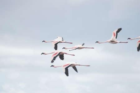 Birds,flamingo flying in blue sky Stock Photo