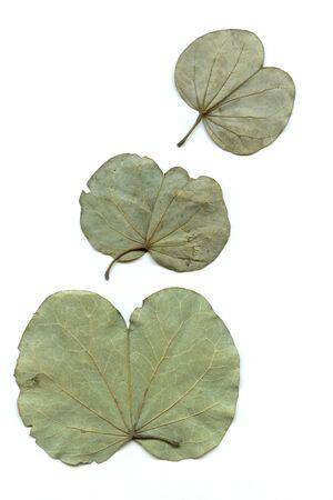 Concept,dry dusera sona bauhinia leaves on white background Stock Photo