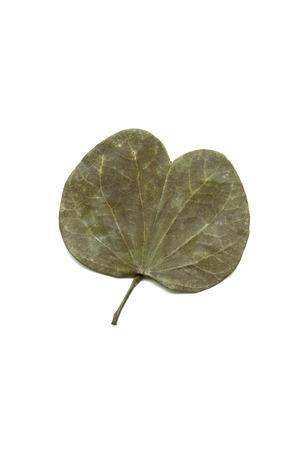 Concept,dry dusera sona bauhinia leaf on white background