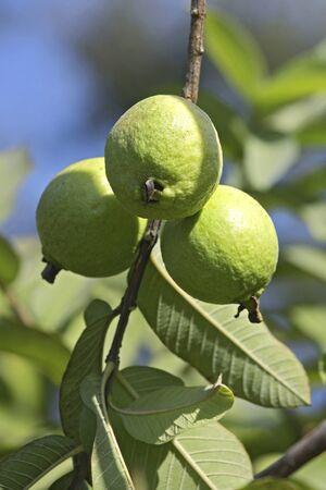 과일, 녹색 구아바 단풍 나무에 나뭇잎에 매달려 guajava