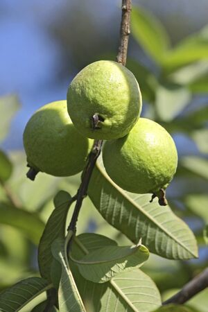 Fruits,green guava psidium guajava hanging on branch with leaves