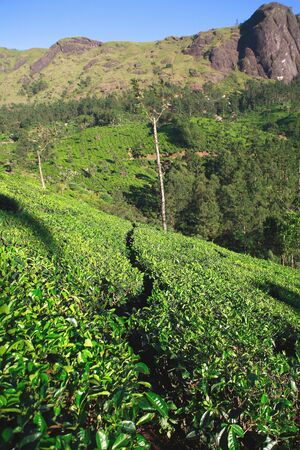 Tea farm,Munnar,Kerala,India