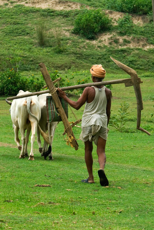 Farmer carrying plough with oxen,India